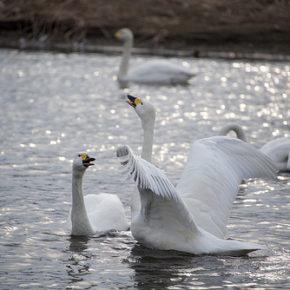 埼玉で白鳥